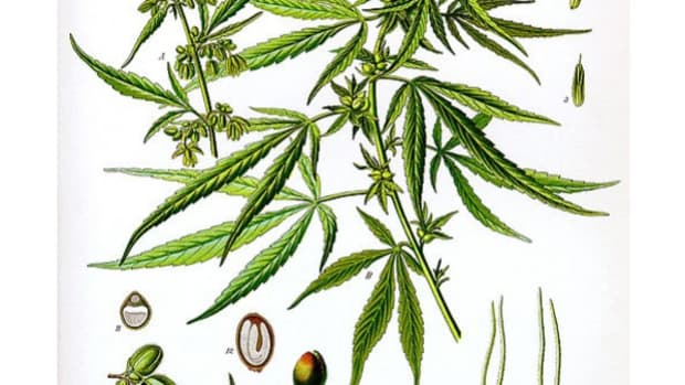 cannabis_sativa_koehler_drawing1 (1)